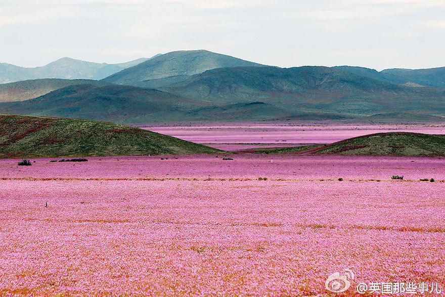 智利阿塔卡马沙漠本是世界上最干燥的沙漠,今年的厄尔尼诺现象带来了一场超乎以往的大雨,沙漠土地里休眠的各种花朵种子瞬间发芽、生长、开花,在这以往死寂的沙漠绽放。